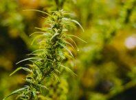 Consumul controlat de cannabis
