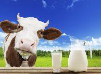 lapte vaca